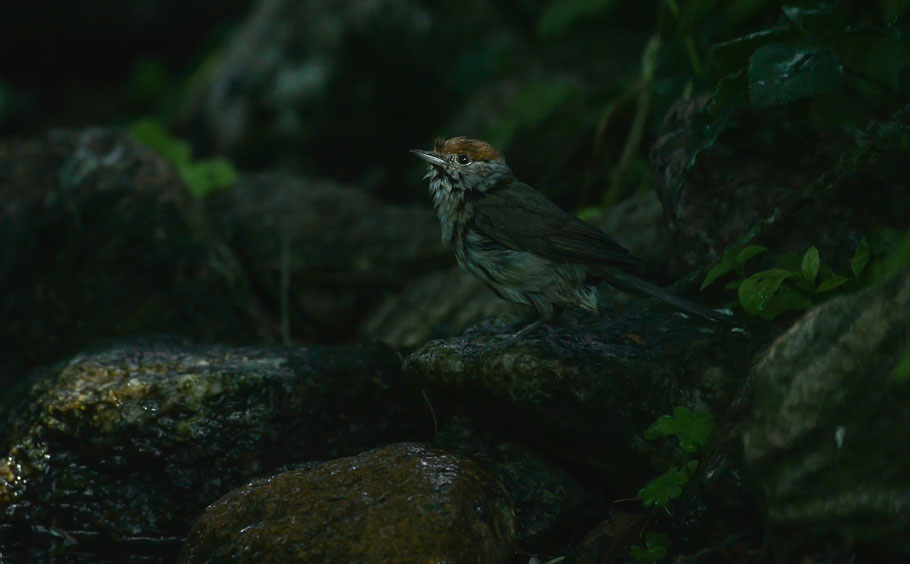 Weibliche Mönchsgrasmücke