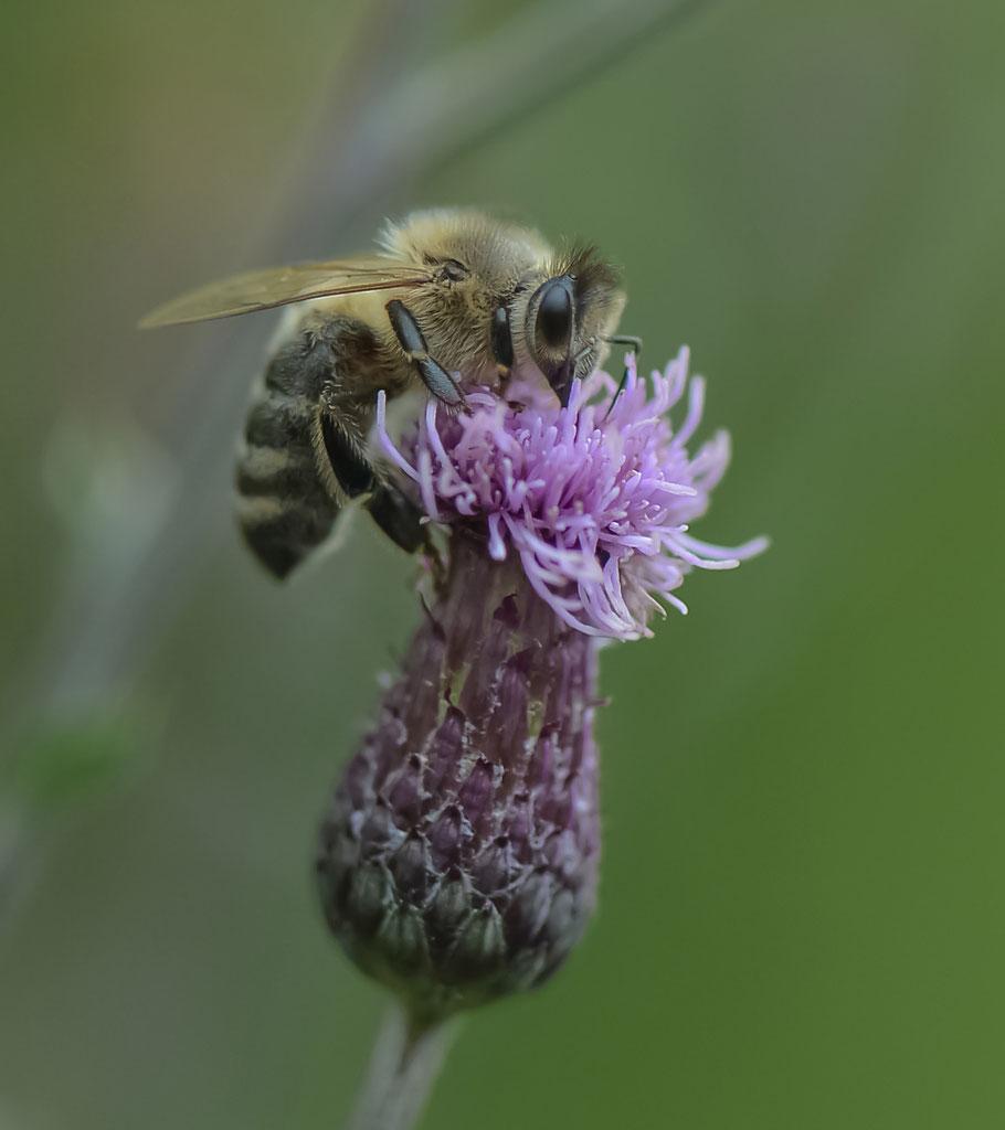 Honigbiene an Distelblüte