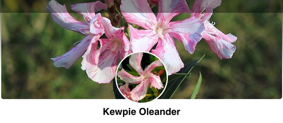 kewpie.oleander