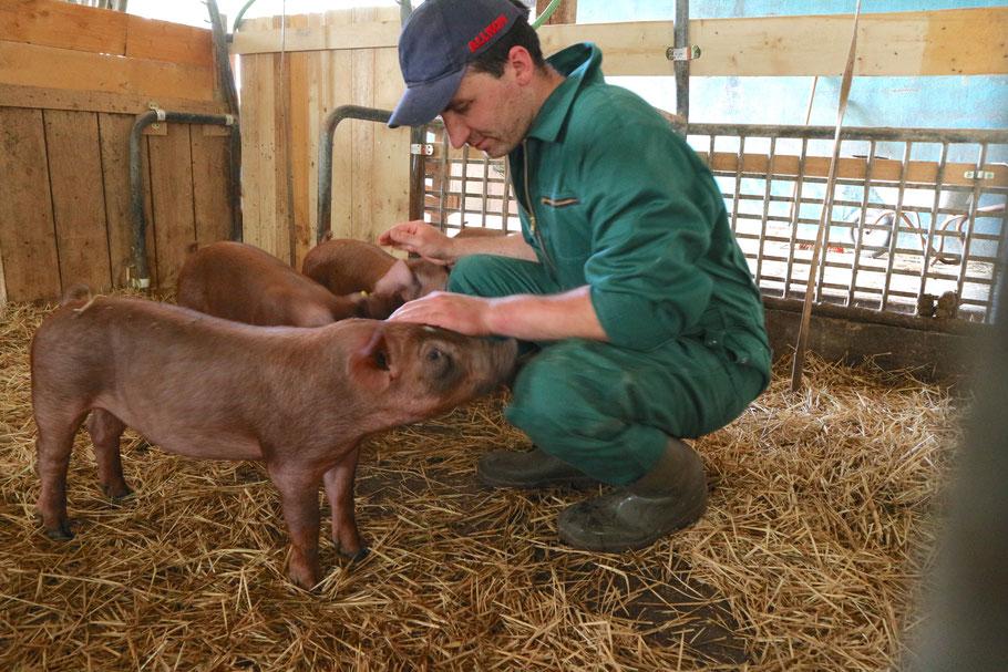 Die Strohschweine vom Steinhof.