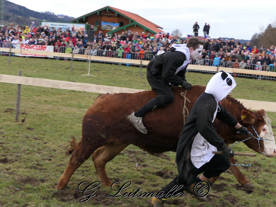 Ochsenrennen in Rottau
