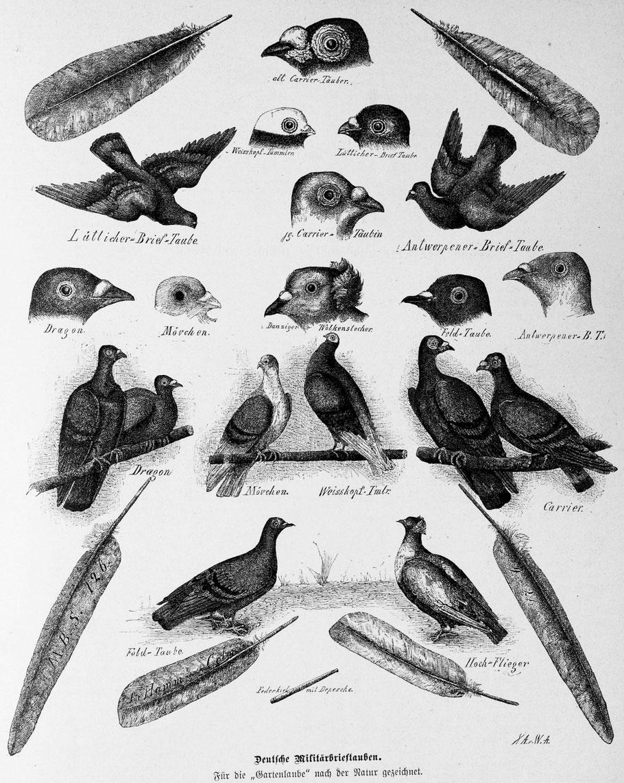Brieftauben 1882, Geschichte der Brieftauben aus dem Jahr 1882. Bilder von Brieftauben 1882