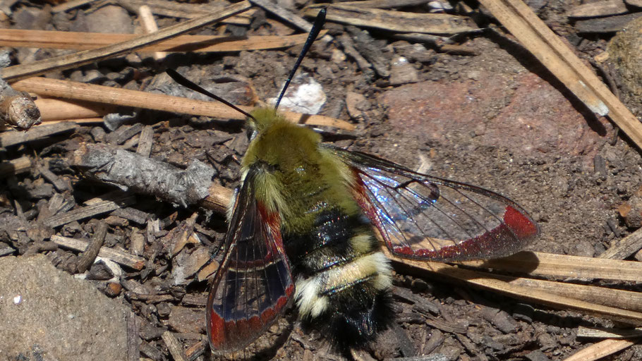 Rocky Mountain Clearwing, Hemaris thetis, Cibola National Forest