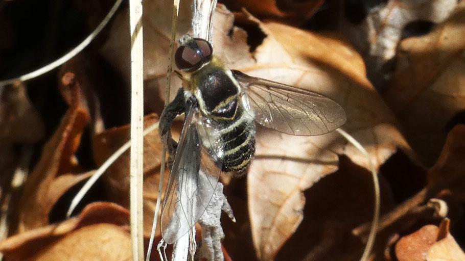Bee Fly, Villa, New Mexico