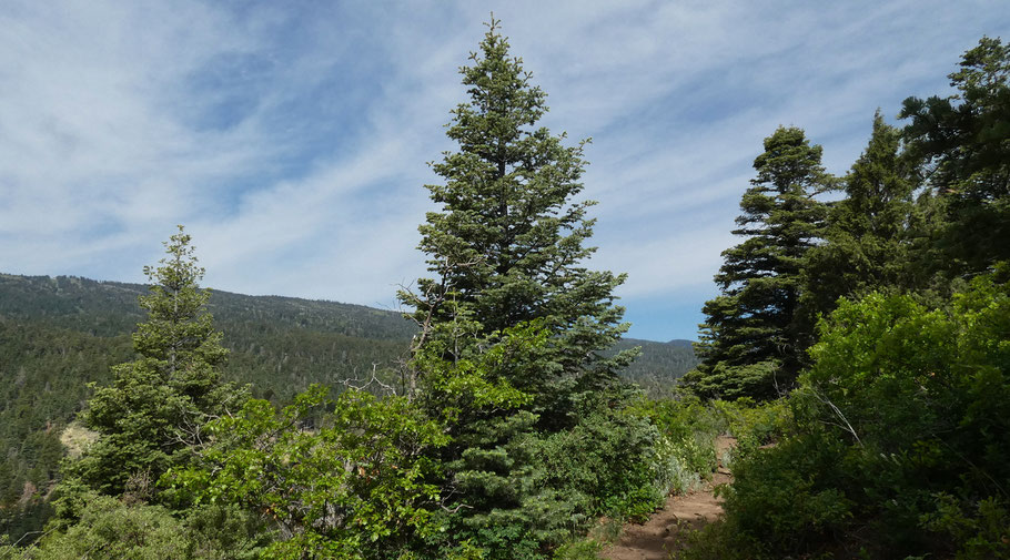 Spruce or Fir? Cibola National Forest, New Mexico