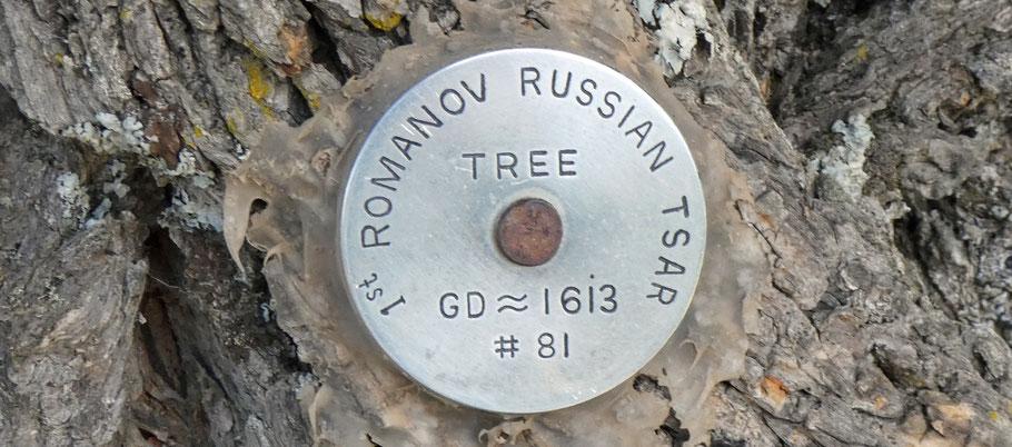 1st Romanov Russian Tsar tree, GD 1613, 81, Sandia Mountains, New Mexico