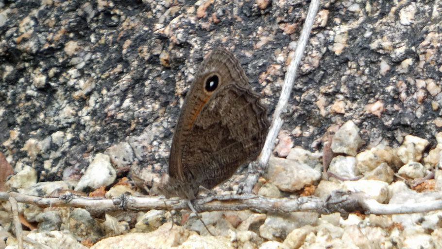 Mead's Wood Nymph, Cercyonis meadii, New Mexico
