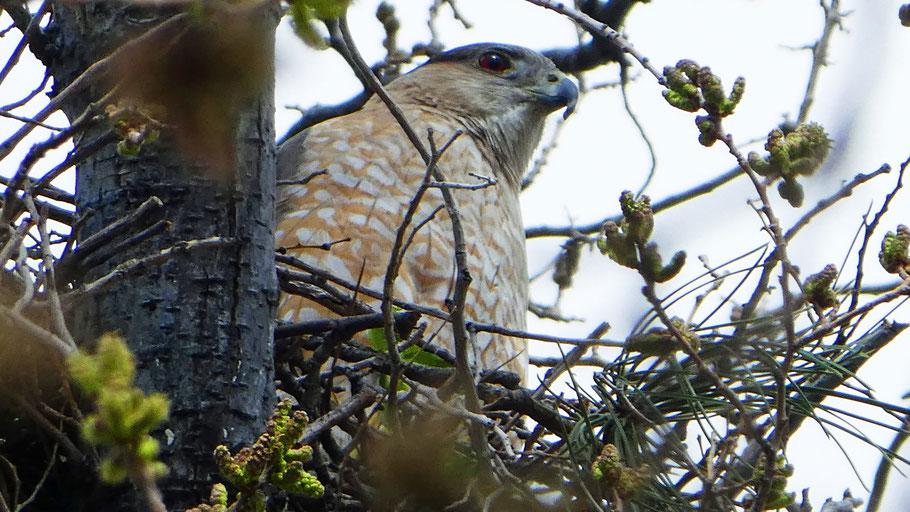 A Cooper's Hawk in her nest, Albuquerque, April 2020