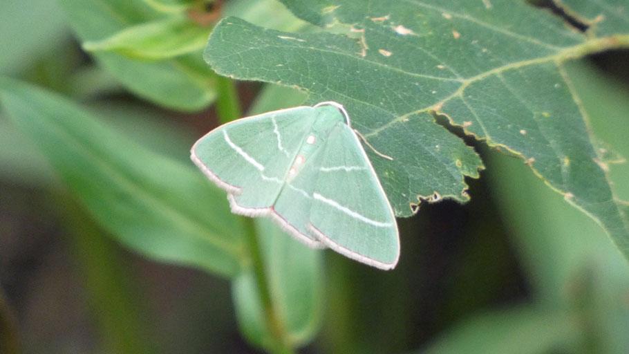 Emerald Moth, Nemoria obliqua, New Mexico