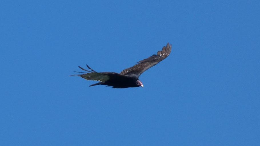Turkey Vulture, Buzzard, Cathartes aura, New Mexico