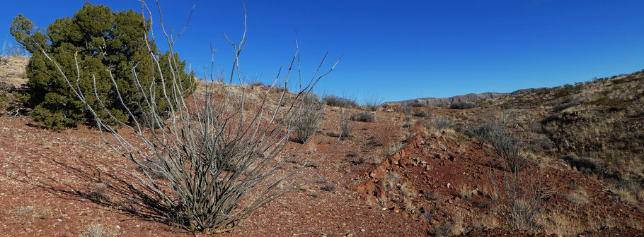 Ocotillo, Fouquieria splendens, Quebradas Backcountry Byway, Socorro County, New Mexico