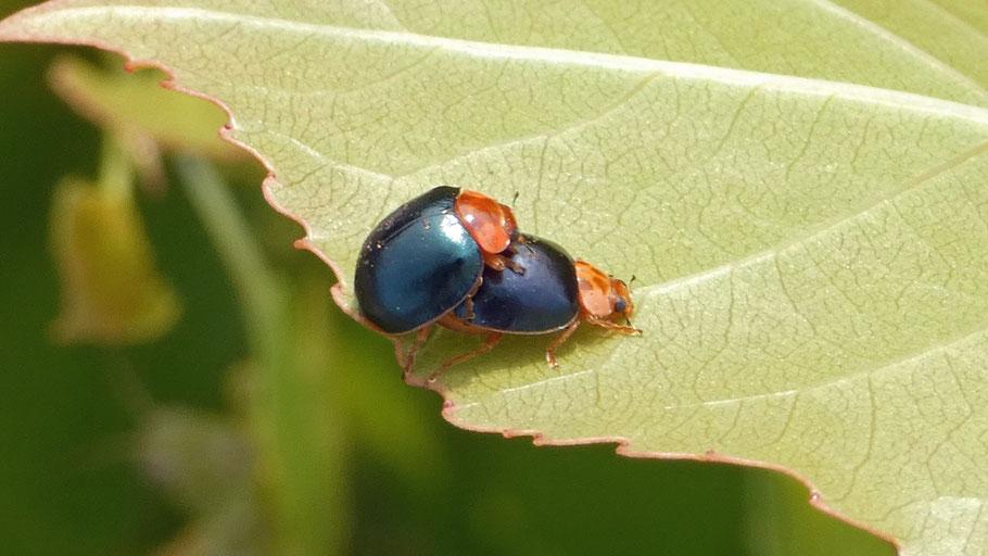 V-Marked Lady Beetle, Neoharmonia venusta ampla, New Mexico