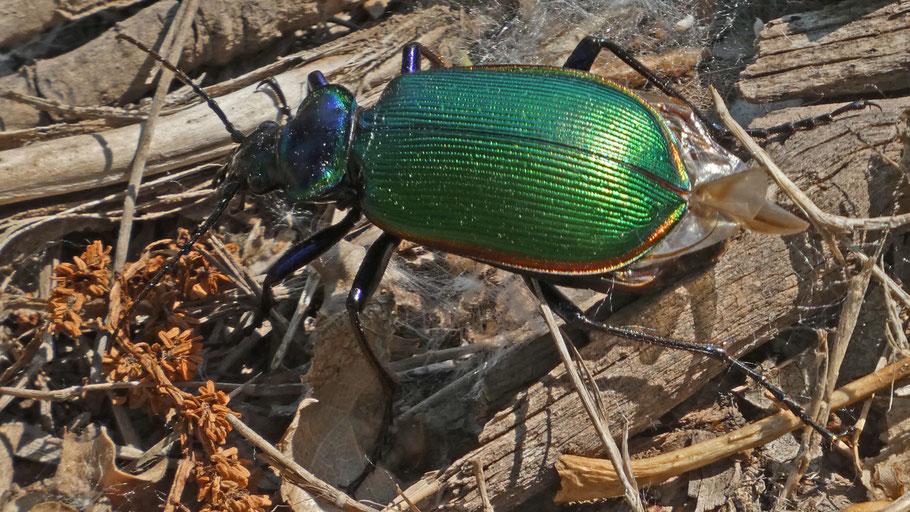 Caterpillar Hunter Beetle, Calosoma, New Mexico
