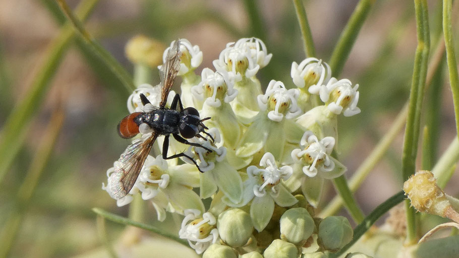 Paragus haemorrhous, hoverfly, New Mexico