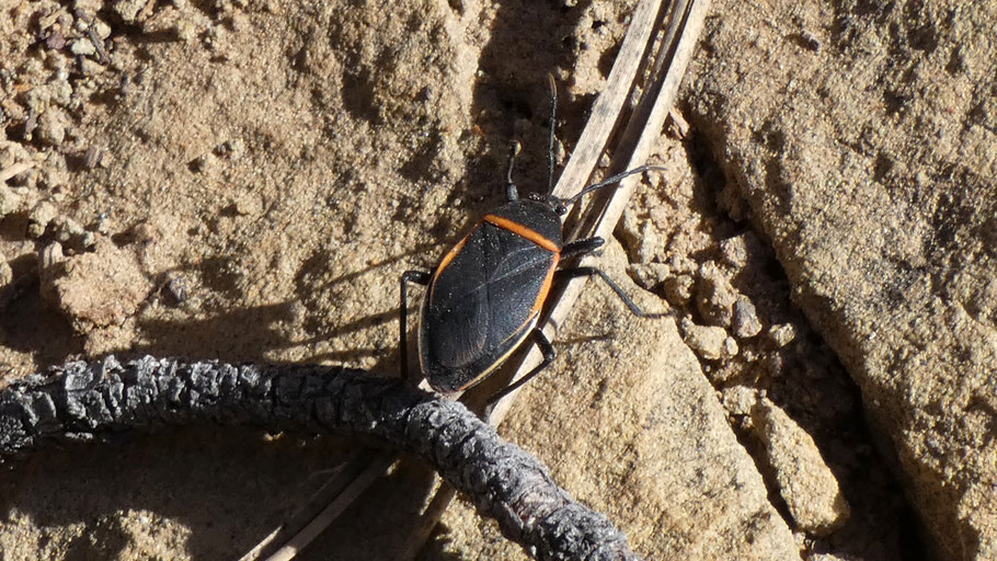 Bordered plant bug, Largus, New Mexico