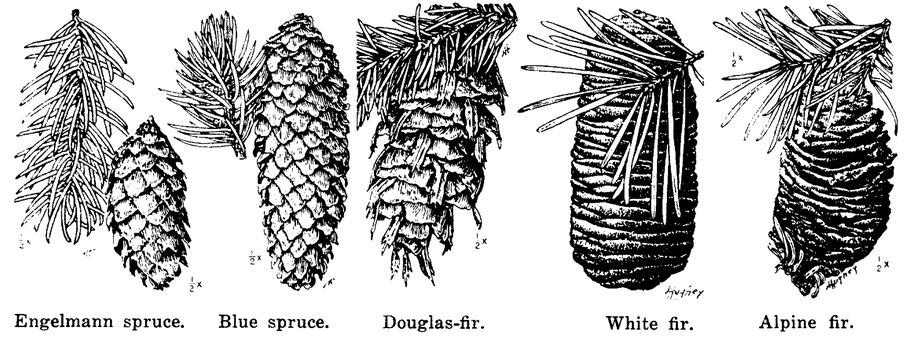 Spruce, fir, and Douglas Fir cones