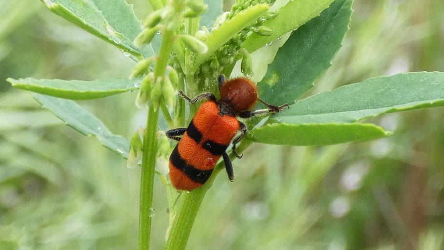 Checkered Beetle, Trichodes bibalteatus, New Mexico