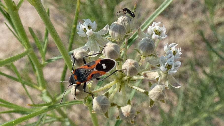Small Milkweed Bug, Lygaeus kalmii, Nw Mexico