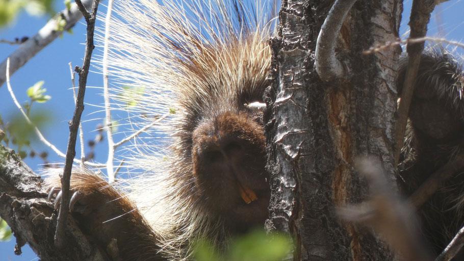 North American Porcupine, Erethizon dorsatum, Rio Grande Bosque, Albuquerque, New Mexico