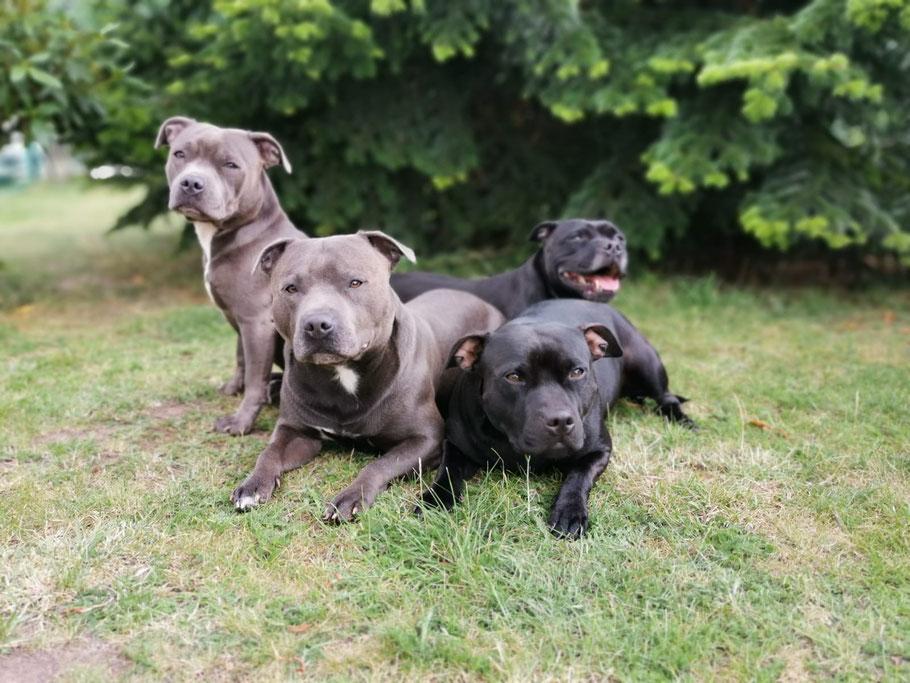 Staffordshire Bullterrier Blue Line und Yorkshire Terrier