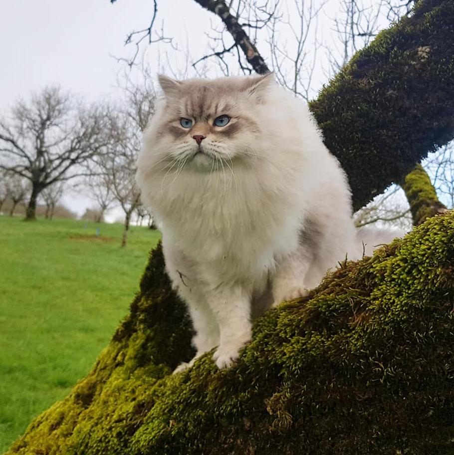 chat siberien 8kg