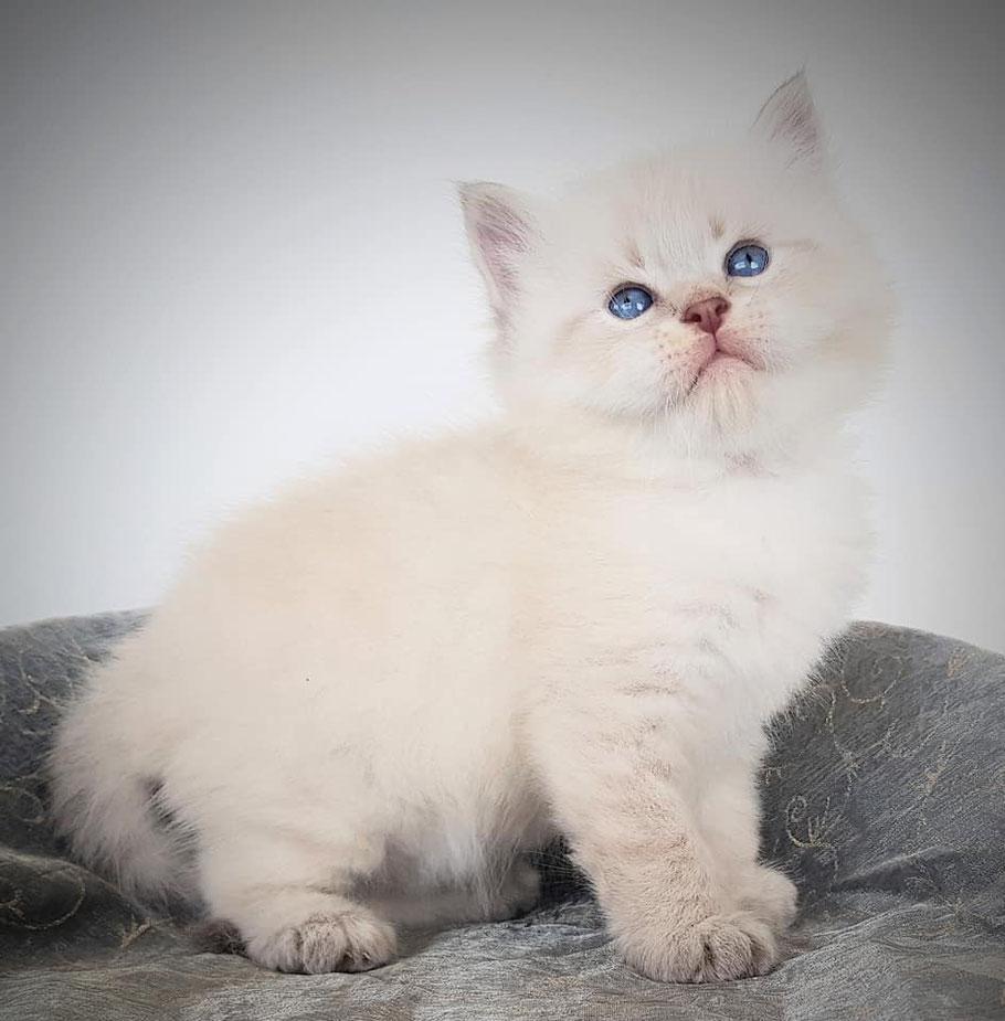 chatons Siberien toulouse