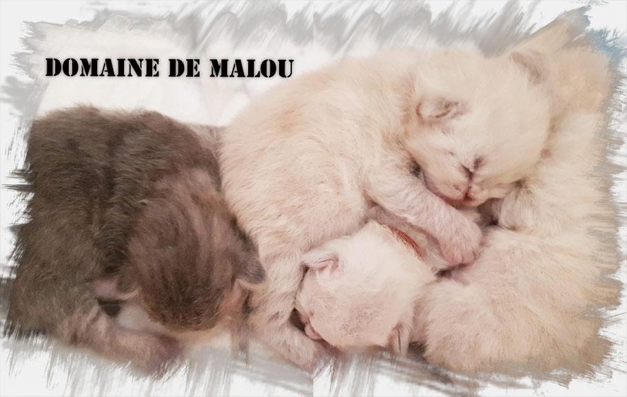 elevage de chat siberien Toulouse