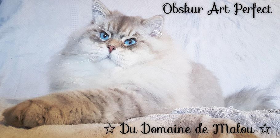 chat siberien yeux bleu