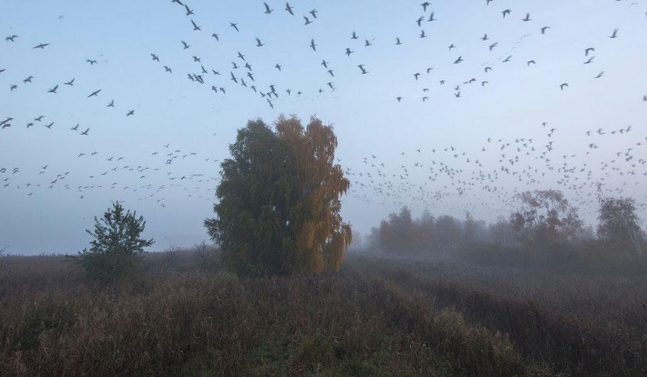 Graugänse, Vogelzug, Schwarm, Kraniche, Kranich, Linum, Brandenburg, Teichland, Morgengrauen, Sonnenaufgang, Nebel, martinsieringphotography