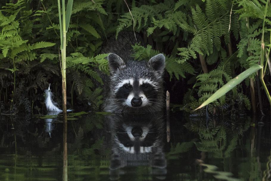 """GOLDEN TURTLE Foto-Wettbewerb 2019 Russland - 2. Platz Kat. """"The Portrait of the Animal"""" mit diesem Spreewald-Waschbär"""