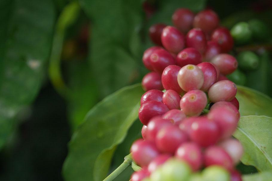 Coffee Cherry, Kailua Kona, Big Island
