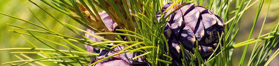 Zirbenholz Eigenschaft und Wirkung Reines echtes 100% ätherisches Zirbenöl Zirbe zum Räuchern Zirbenschnaps Zirbe als Schnaps