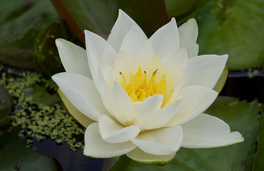 Qualifikationen my selbstbewusst: Die Lotusblume als Symbol für Reinheit des Herzens, Treue, Schöpferkraft und Erleuchtung.
