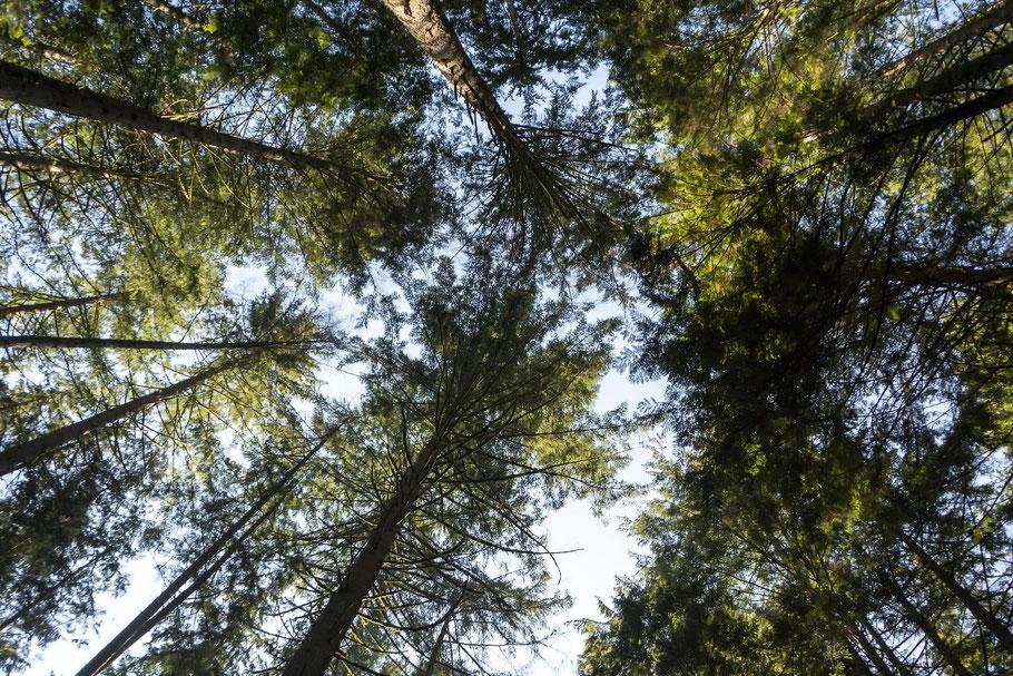 Kanada, Vancouver, Wald, Natur, Landschaftfotografie, der Beste Fotograf, Martin Matok, Rüsselsheim am Main, Hessen, Fotografie, Kunst, Bäumen,