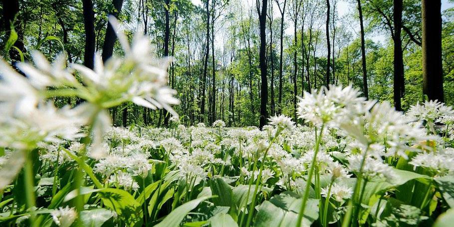 Frühling mit Bärlauch im Auenwald Leipzig Wald Bäume im Gegenlicht Pesto - Copyright www.dirk-brzoska.de DIRK BRZOSKA FOTOGRAFIE