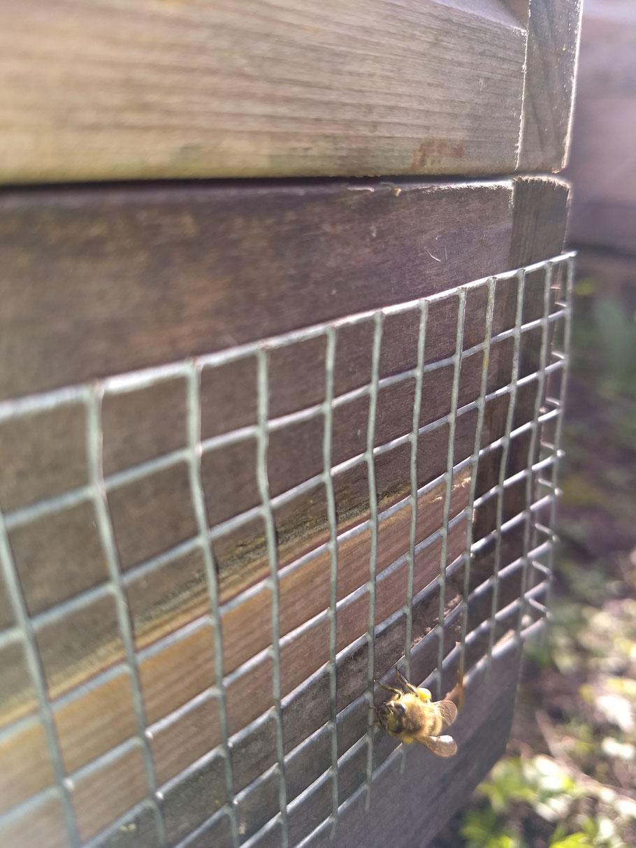 Die Bienen finden gelben Pollen jetzt im März. De bijen vinden nu in maart geel stuifmeel. Bin samlar nu gul pollen i mars.