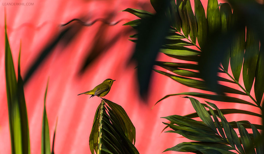 Mönchswaldsänger / Wilson's Warbler