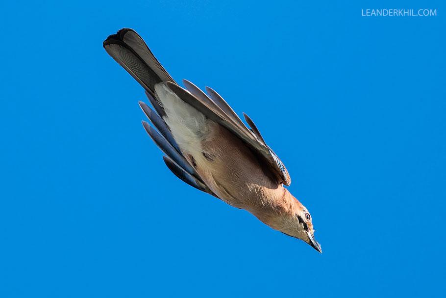 Eichelhäher / Eurasian Jay