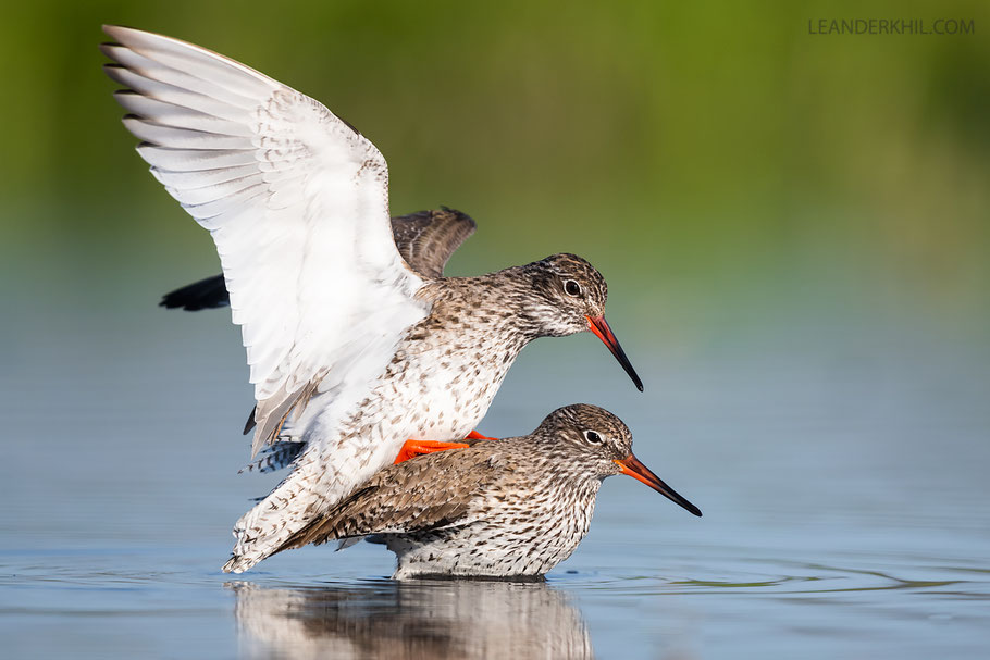 Rotschenkel / Common Redshanks