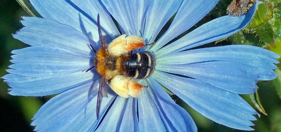 Hosenbiene-Gartenarbeitsschule