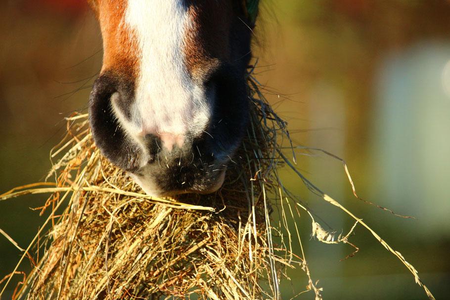 Pferd frisst gesundes Heu