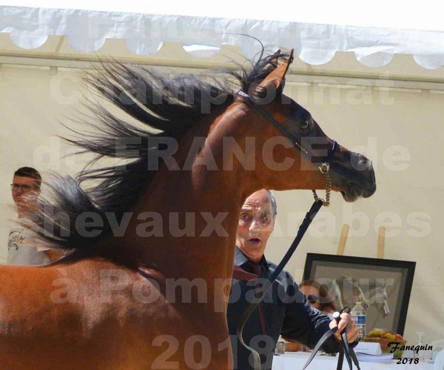 Championnat de FRANCE des chevaux Arabes à Pompadour en 2018 - SH CHARISMA