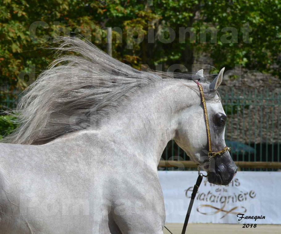 Championnat de FRANCE de chevaux Arabes à Pompadour en 2018 - SH CHAGALL