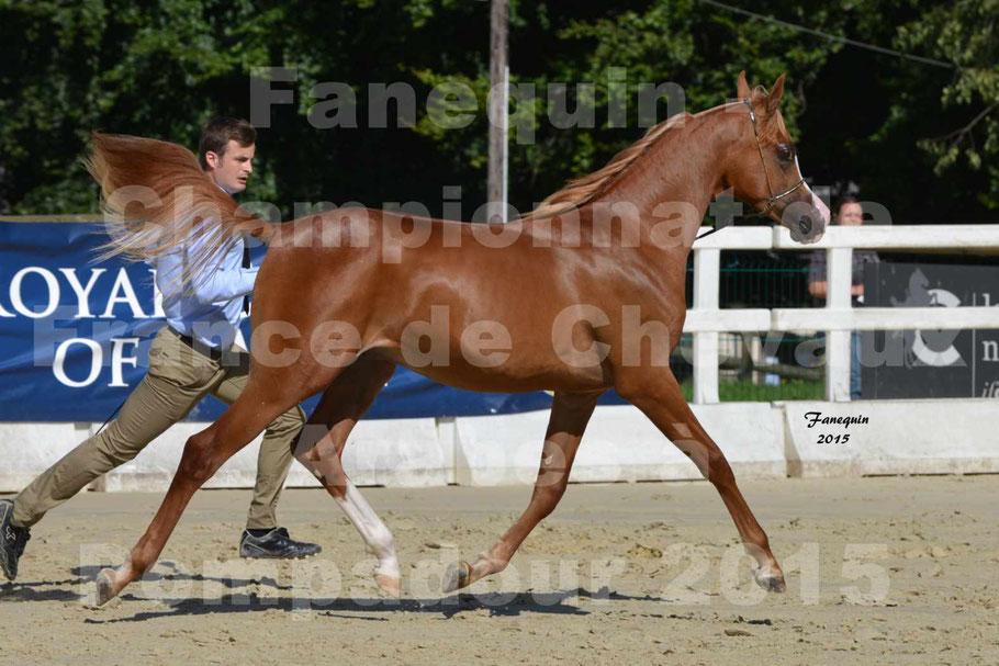 TCHAATA INIZIATO aux Championnat de FRANCE des chevaux ARABES de show à POMPADOUR en 2015