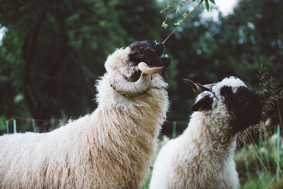 Walliser Schwarznasen Schafe Futter Bäume