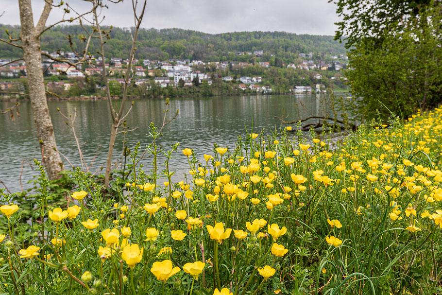 Der Rhein am 1. Mai 2021. Butterblumen säumen das Ufer. (Foto PC)