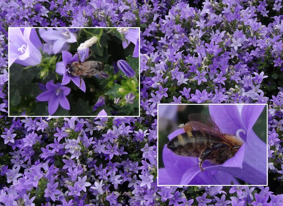 Bild: Bienen und Hummel fliegen summend durch den Garten, auf der Suche nach dem süßen Nektar in der Glockenblume. Wilkommen am gedeckten Tisch!