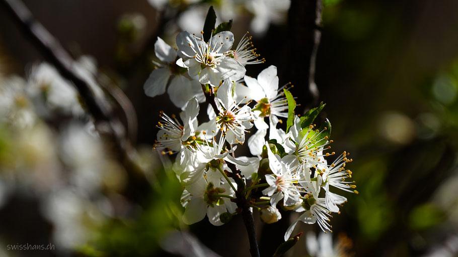 Ast mit vielen weissen Kirschblüten