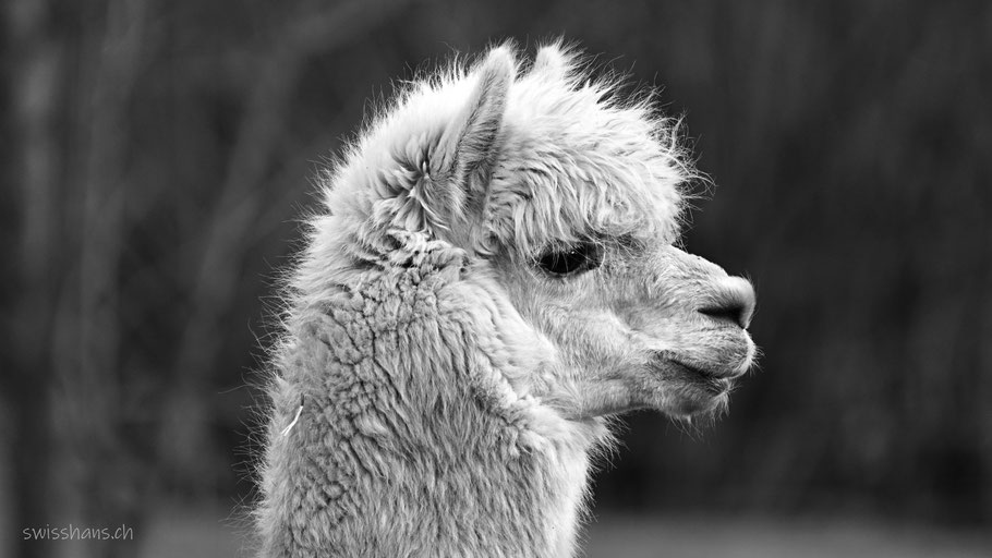 Portrait eines Alpakas von der Seite aufgenommen