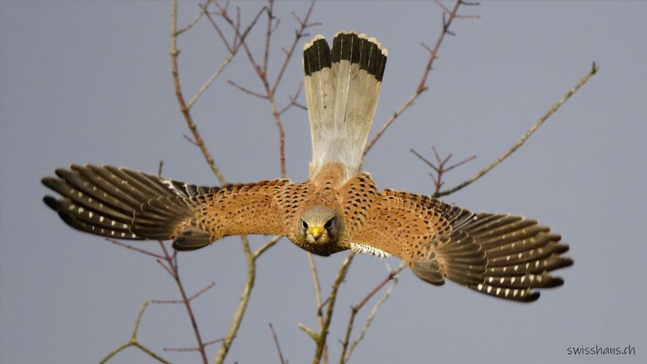 Ein Turmfalke mit gespreizten Flügeln beim Abflug als Nahaufnahme